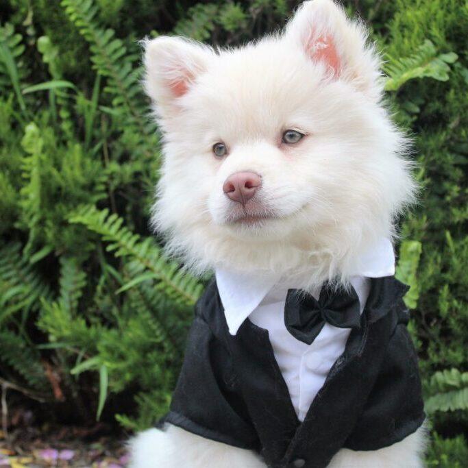 Pet fashion dog wearing a tuxedo